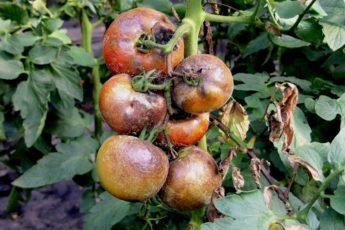 Борьба с фитофторой на помидорах - самые эффективные средства