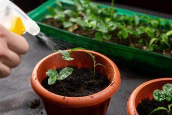 Как часто поливать рассаду?