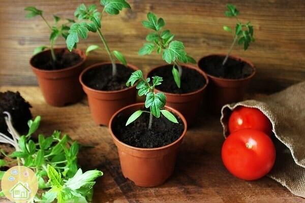 Как избежать ошибок при выращивании рассады помидор