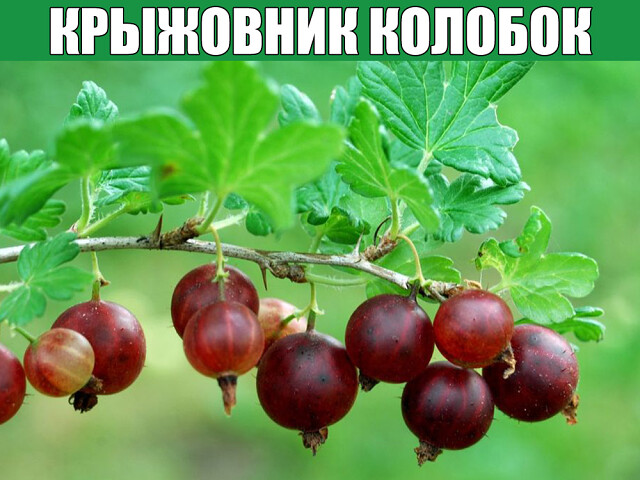 Крыжовник Колобок: особенности ягодного кустарника, достоинства и недостатки.