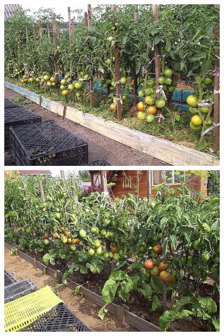 Рекомендации по выращиванию томатов в открытом грунте