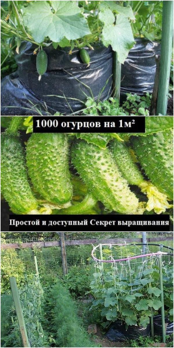 1000 ОГУРЦОВ НА ОДНОМ КВАДРАТНОМ МЕТРЕ — ОГУРЦЫ ИЗ МЕШКА!