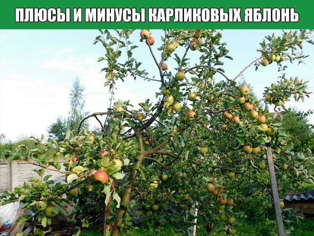 Плюсы и минусы карликовых яблонь.