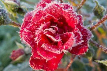 Правила снятия зимнего укрытия с роз