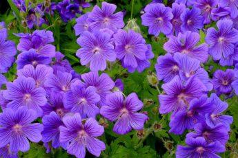 Садовая герань размножение и уход