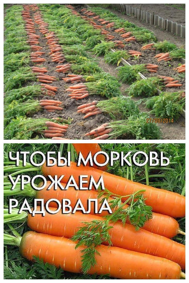 Как правильно сеять морковь. На заметку