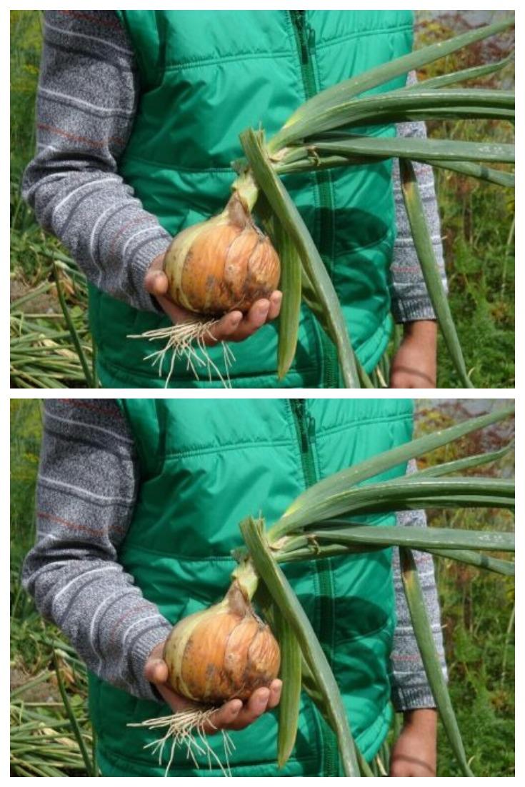 Как увеличить луковицу лука в полтора раза - советом поделился бывший агроном из Индии