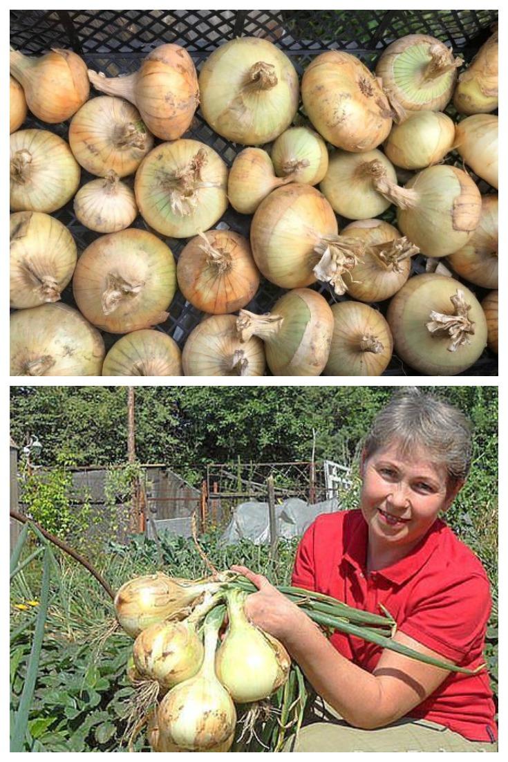Для чего опытные садоводы разрезают луковицу на 4 части перед посадкой