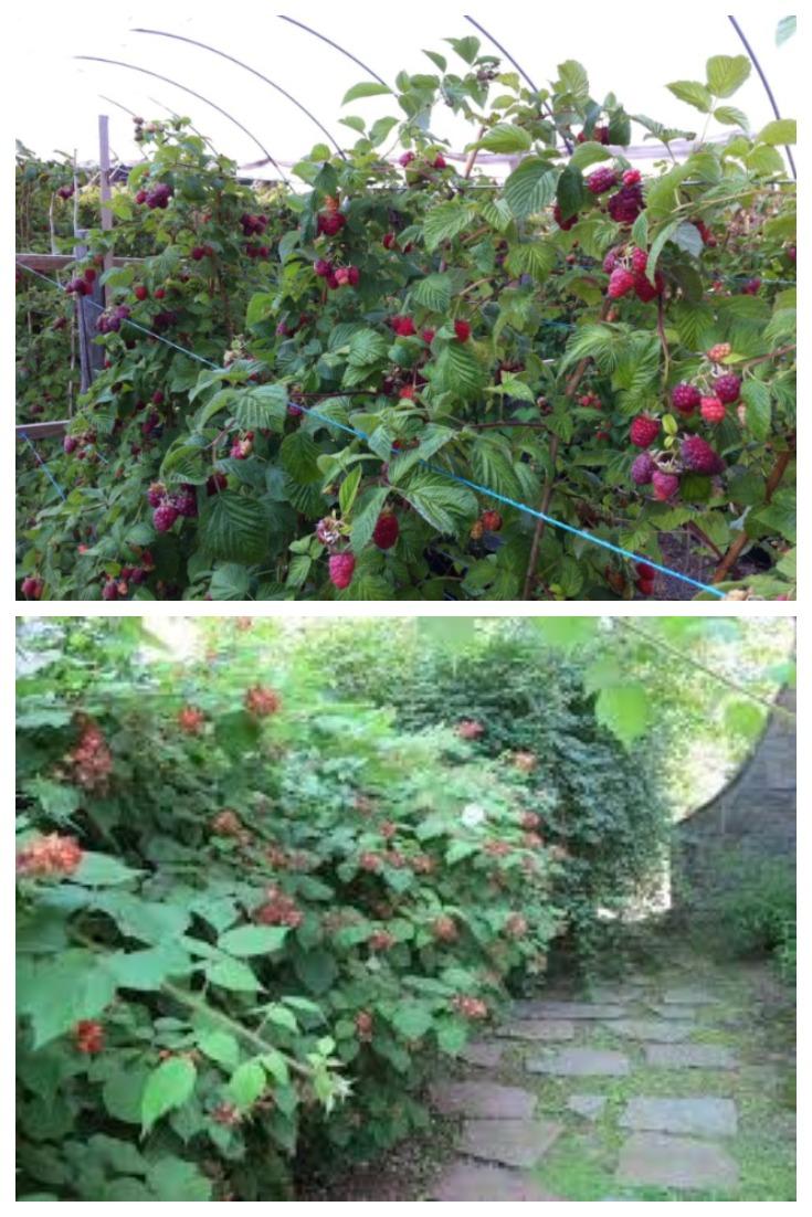 Советы - как предотвратить разрастание малины!
