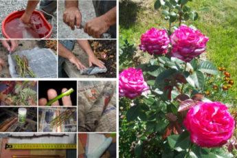 Буррито – простой и эффективный метод размножения роз
