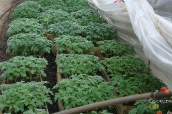 Чем подкормить томатов рассаду (народные средства)