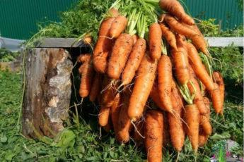 Чтобы урожай моркови был чистым, без всевозможных гнилей