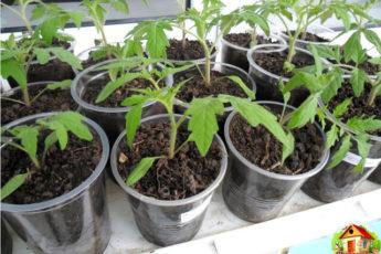 Рассаду помидоров поливают раствором йода
