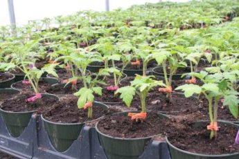 Полезные советы по выращианию рассады томатов. Народные рецепты.