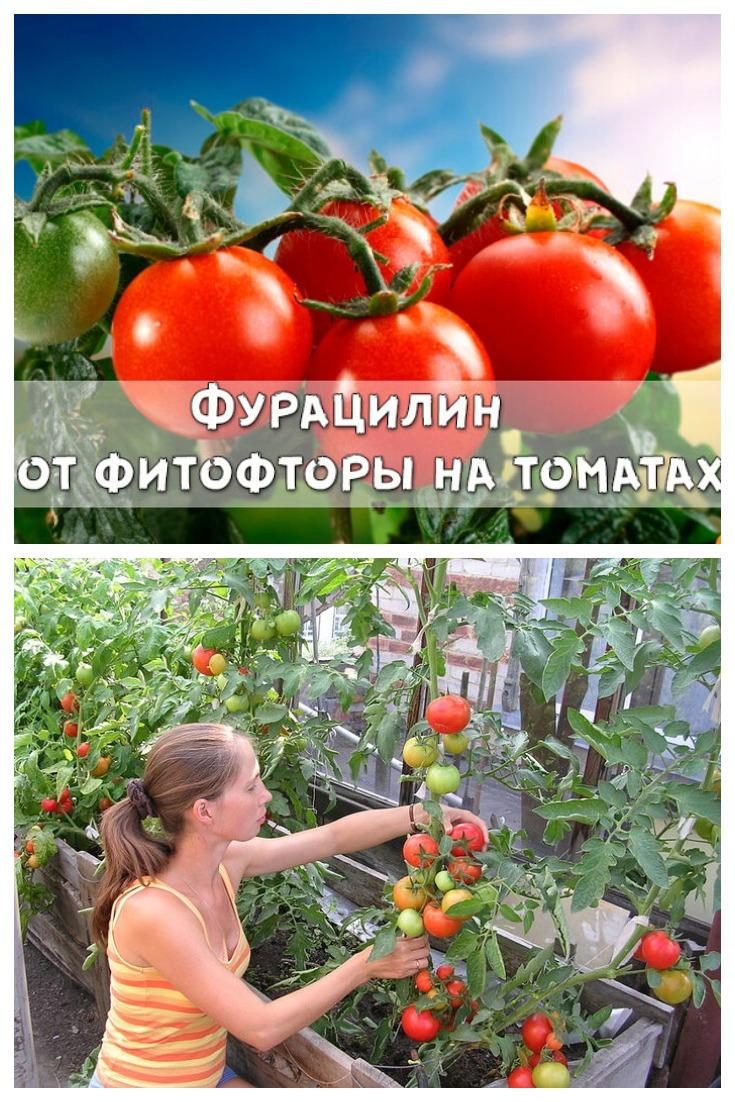 Фурацилин от фитофторы на томатах