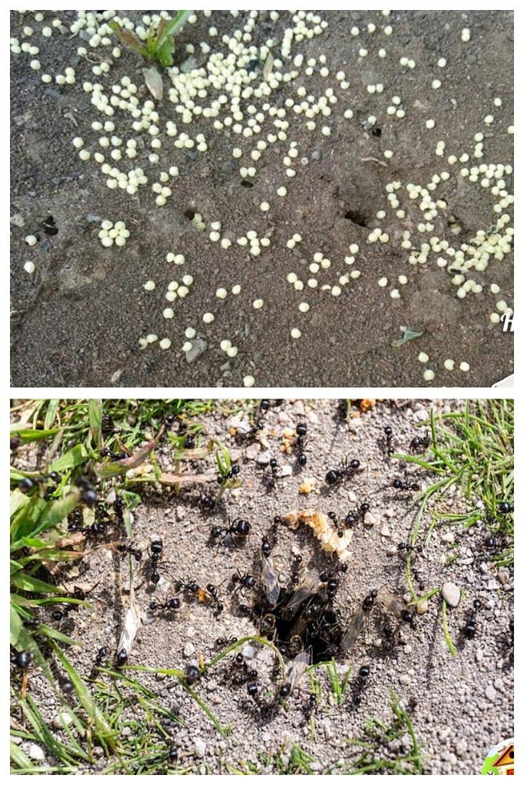 Ударим пшеном по муравьям!