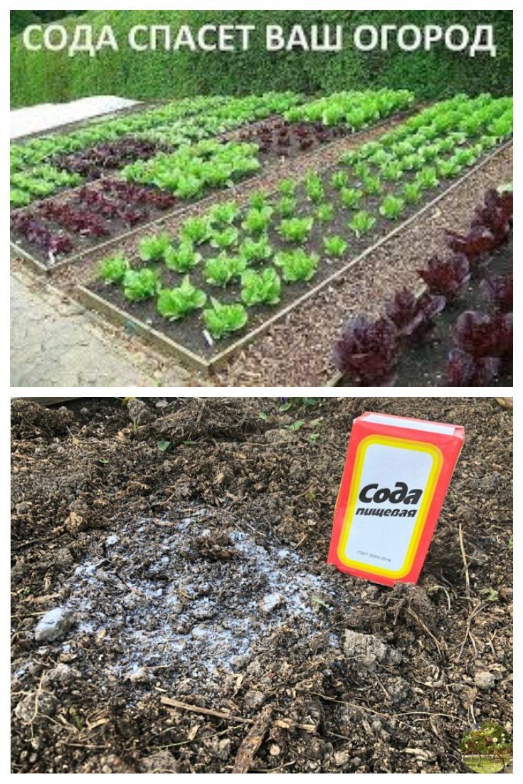 Сода для пользы огорода