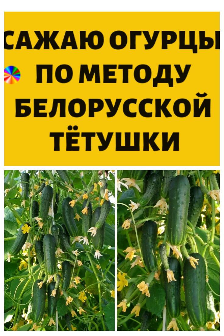 Сажаю огурцы по методу белорусской тётушки! Этот способ посадки все соседи испробовали на своем огороде…