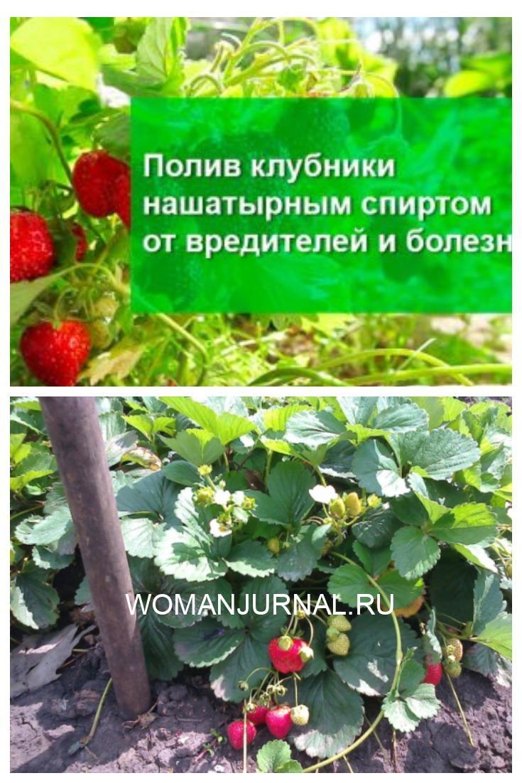 Защитить клубнику от вредителей и болезней, подкормить весной до цветения и сразу после плодоношения можно при помощи нашатырного спирта.