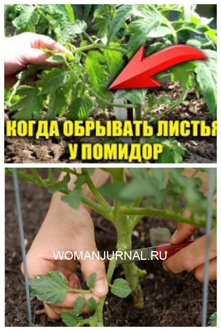 Как обрывать листья у томатов (помидор) и почему это нужно обязательно делать?