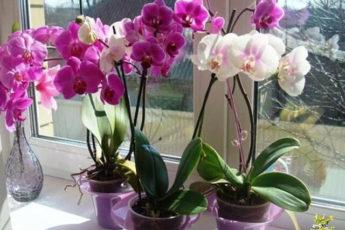 Удобрение для орхидей - перекись водорода.