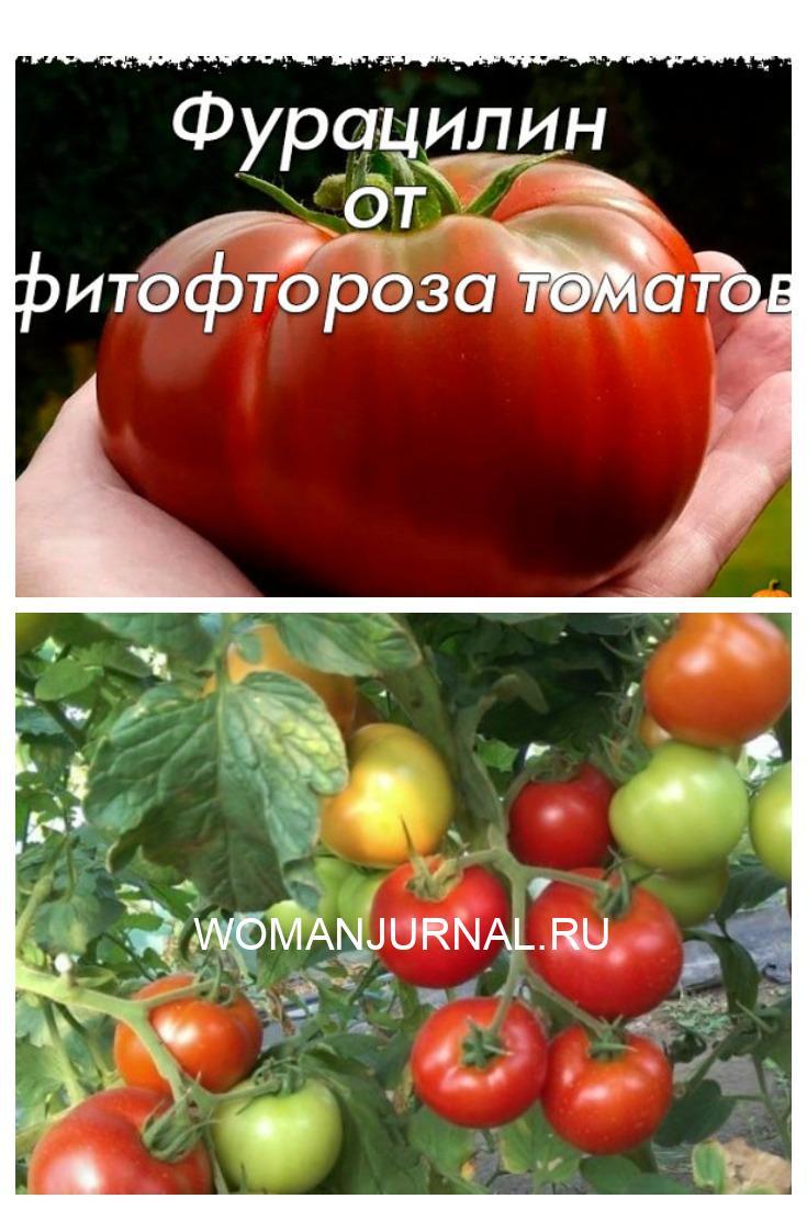 Фурацилин от фитофтороза томатов