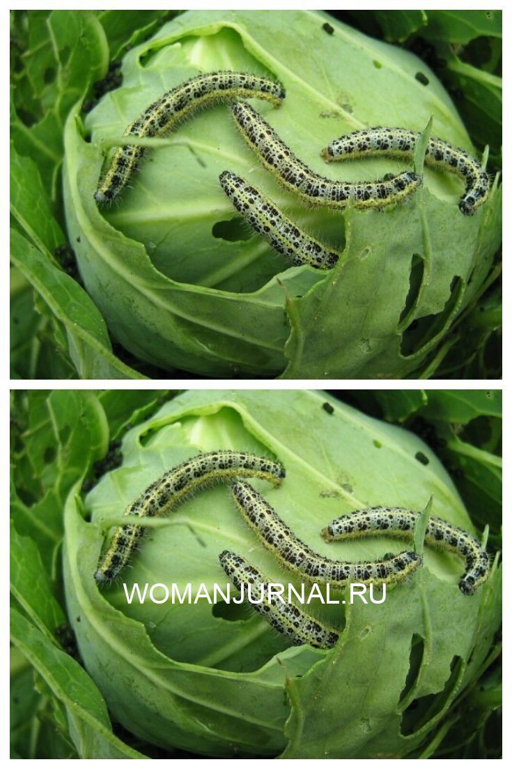 Как избавиться от гусениц на капусте без химикатов?