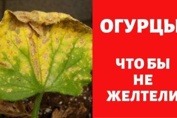 6 Советов против пожелтения листьев огурцов