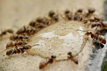 Хорошее средство против муравьёв.