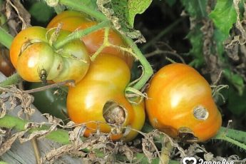 Отличный самодельный состав от болезней растений