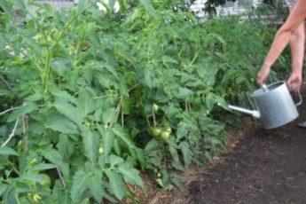 Поэтапное удобрение томатов
