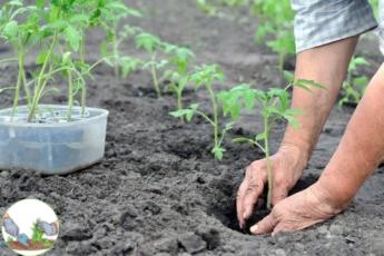5 ошибок при высадке томатов