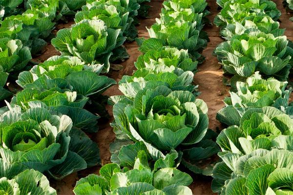 Зубная паста спасла урожай капусты!