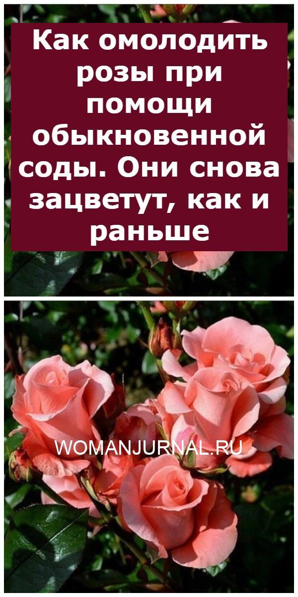 Как омолодить розы при помощи обыкновенной соды. Они снова зацветут, как и раньше