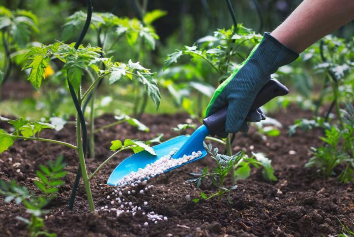 Как правильно вносить удобрения для помидор