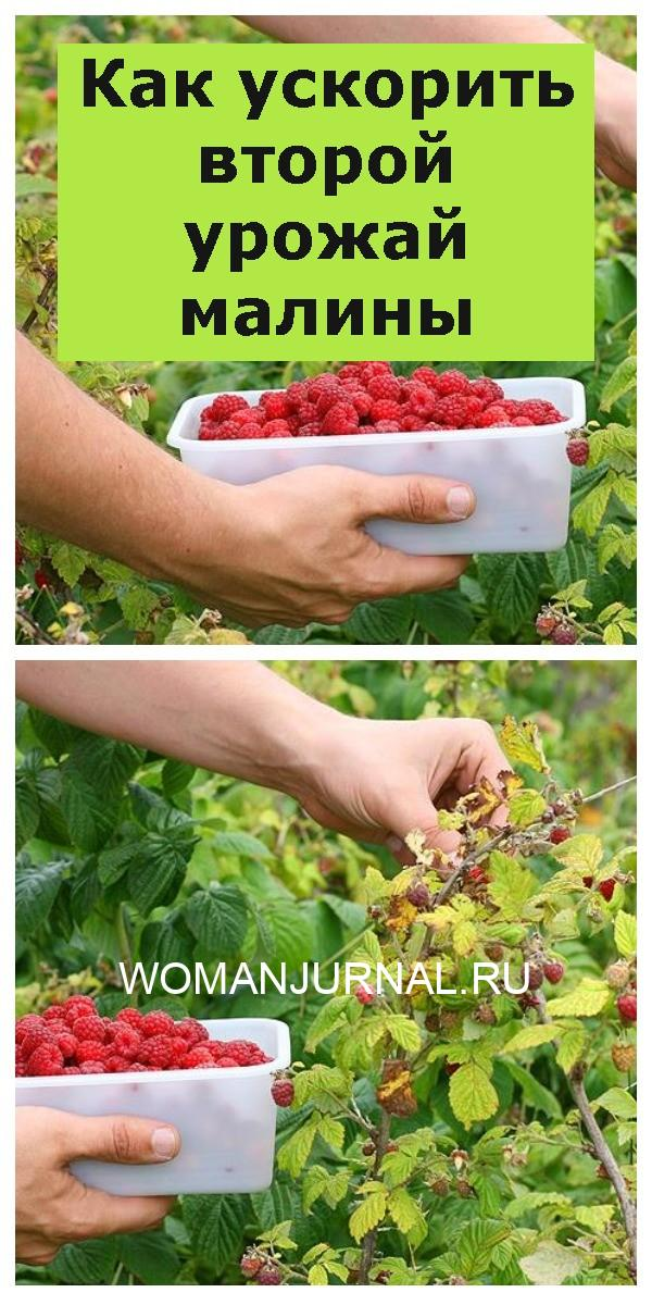 Как ускорить второй урожай малины