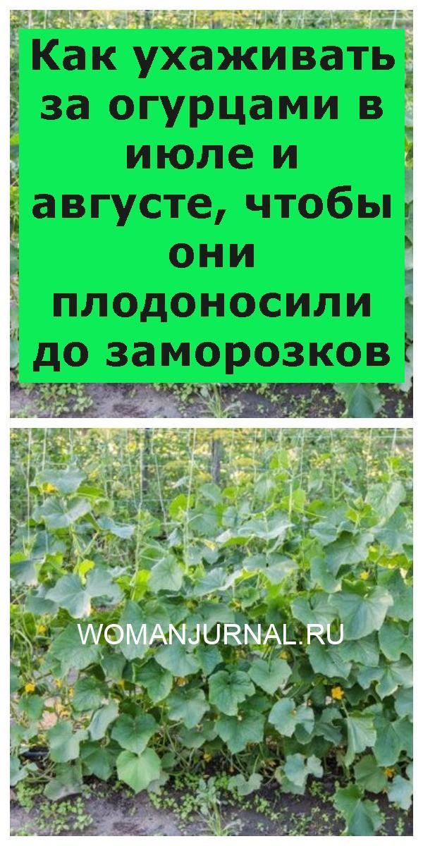 Как ухаживать за огурцами в июле и августе, чтобы они плодоносили до заморозков