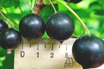 «Чтобы смородина была крупная, как вишня»: простой способ, которым я всегда пользуюсь