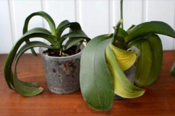 Из-за чего вянут листья у орхидеи? Как вернуть любимое растение к жизни