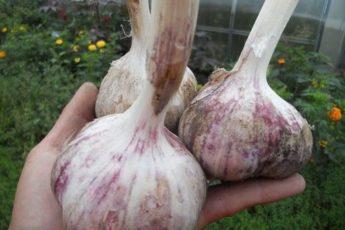 В почву под посадку озимого чеснока достаточно внести всего 3 ингредиента для шикарного урожая 1