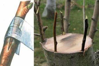 Дедовский способ прививки деревьев для большого урожая 1