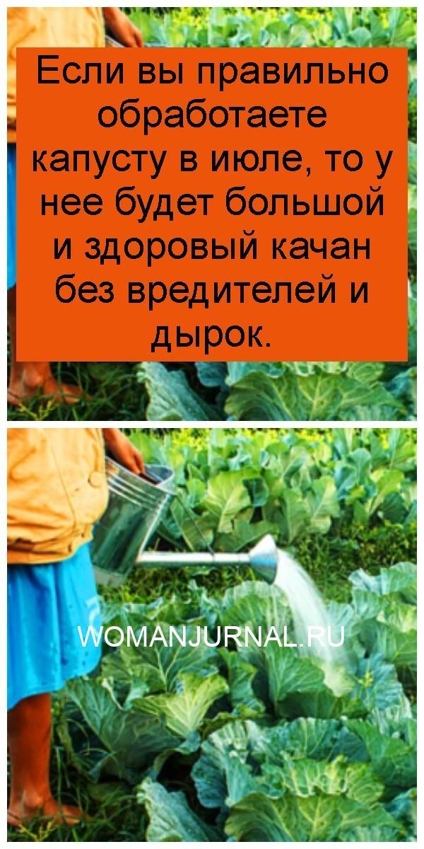 Если вы правильно обработаете капусту в июле, то у нее будет большой и здоровый качан без вредителей и дырок 4