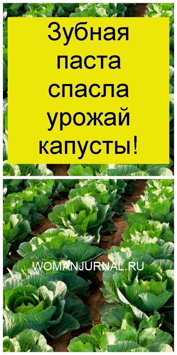 Зубная паста спасла урожай капусты 4