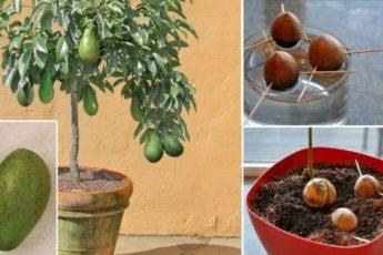 Как вырастить деревце авокадо дома в горшочке 1