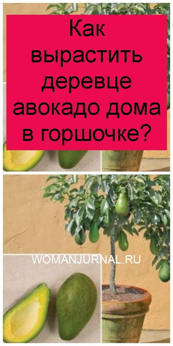 Как вырастить деревце авокадо дома в горшочке 4