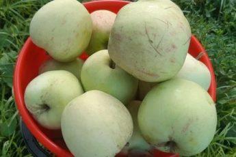 Как заготовить яблоки на зиму без банок и без сахара. Подойдут даже падалица 1