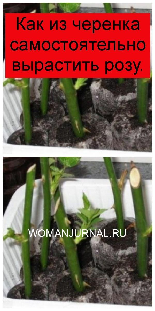 Как из черенка самостоятельно вырастить розу 4