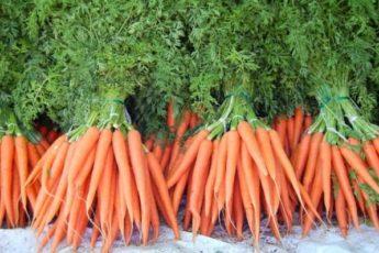Как подкормить морковь, чтобы выросла крупной, сочной и сладкой 1