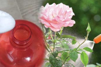 Как с помощью обычной соды, омолодить кусты роз: действенный метод 1