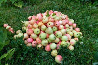 Опавшие яблоки не выбрасываю, а бегом несу в теплицу: хитрость «От свекрови». Польза для помидоров 1